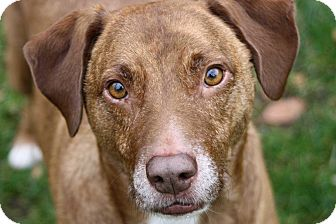 Labrador Retriever Mix Dog for adoption in Salem, New Hampshire - RUSTY