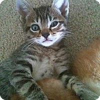 Adopt A Pet :: Kashmir - Austin, TX