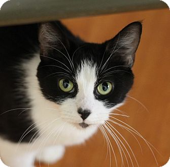 Domestic Shorthair Cat for adoption in Chicago, Illinois - Olenna