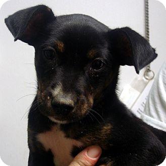 German Shepherd Dog/Labrador Retriever Mix Puppy for adoption in Manassas, Virginia - Socks