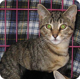 Domestic Shorthair Kitten for adoption in Randolph, New Jersey - Josephine