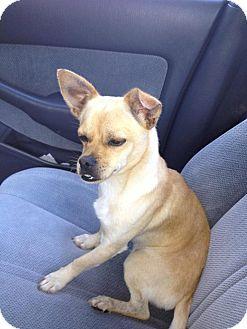 Chihuahua Mix Dog for adoption in Savannah, Georgia - Jimmy