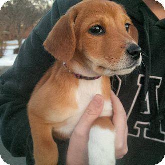 Retriever (Unknown Type)/Beagle Mix Puppy for adoption in Lincoln, Nebraska - JADE