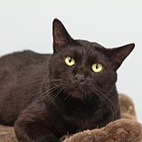 Domestic Shorthair Cat for adoption in Atlanta, Georgia - Magic Mike 141656
