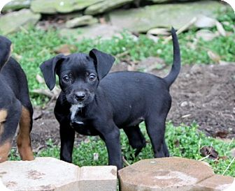 Miniature Pinscher Mix Puppy for adoption in Liberty Center, Ohio - Jolly