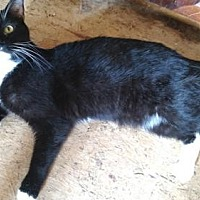Domestic Shorthair Cat for adoption in Sidney, Maine - Quasar
