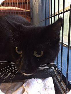 Domestic Shorthair Cat for adoption in Porter, Texas - Ella