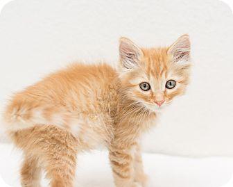 Domestic Longhair Kitten for adoption in Fountain Hills, Arizona - Jerry