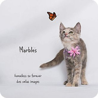 Domestic Shorthair Kitten for adoption in Arcadia, California - Marbles