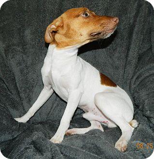 Rat Terrier Puppy for adoption in Umatilla, Florida - Argos