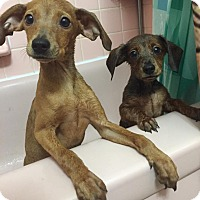 Adopt A Pet :: Betty - Troy, MI