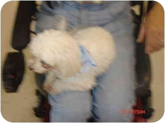 Maltese Dog for adoption in Maroa, Illinois - baby & Nena