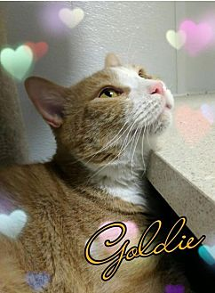 Domestic Shorthair Cat for adoption in Island Heights, New Jersey - Goldie