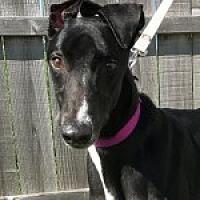 Greyhound Dog for adoption in Grandville, Michigan - WHISKEY DUELER