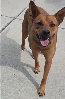 Cattle Dog Mix Dog for adoption in Houston, Texas - Dixie