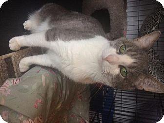 Domestic Shorthair Cat for adoption in Freeport, New York - Han