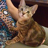 Domestic Shorthair Cat for adoption in Oviedo, Florida - Eowyn