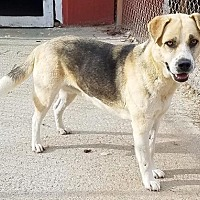 Shepherd (Unknown Type) Mix Dog for adoption in Rockaway, New Jersey - Raison Havard