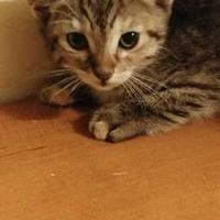 Adopt A Pet :: Aubrey - Mesa, AZ