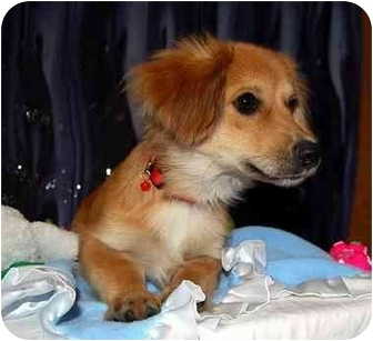 Dachshund Mix Puppy for adoption in Broomfield, Colorado - Morpheus