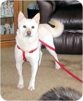 Shiba Inu Dog for adoption in Round Lake, Illinois - Mona (Iowa)