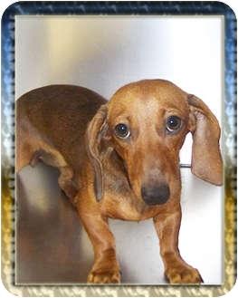 Dachshund Dog for adoption in North Palm Beach, Florida - Precious