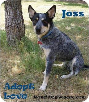 Australian Cattle Dog Mix Dog for adoption in Azle, Texas - Joss