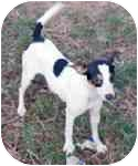 Rat Terrier Dog for adoption in Antioch, Tennessee - Betsy