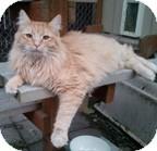 Domestic Mediumhair Cat for adoption in Anchorage, Alaska - Milo