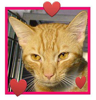 Domestic Shorthair Cat for adoption in El Cajon, California - Felix