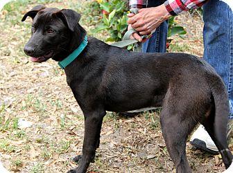 Labrador Retriever Mix Dog for adoption in Bradenton, Florida - Calvin