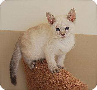 Siamese Kitten for adoption in Trevose, Pennsylvania - Shia