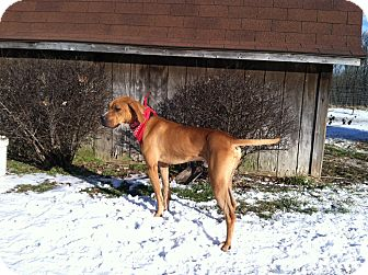 Coonhound Mix Dog for adoption in Florence, Indiana - Titan