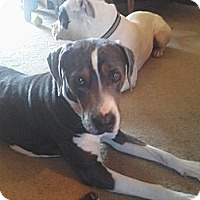 Adopt A Pet :: Duchess - Chattanooga, TN