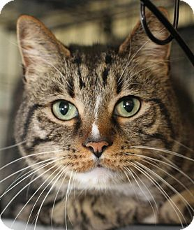 Domestic Shorthair Cat for adoption in Winston-Salem, North Carolina - Swiper