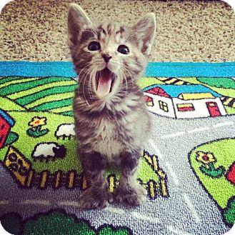Hemingway/Polydactyl Kitten for adoption in Rancho Cucamonga, California - Molly