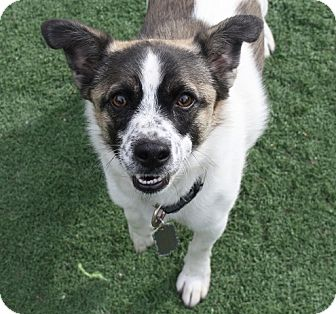 Akita/Jack Russell Terrier Mix Dog for adoption in Henderson, Nevada - Max