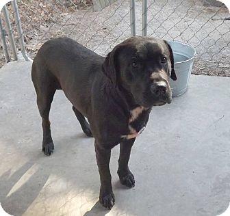 Labrador Retriever Mix Dog for adoption in Henderson, North Carolina - Tequila