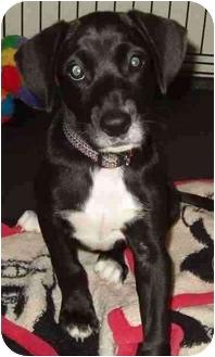 Labrador Retriever/Hound (Unknown Type) Mix Puppy for adoption in Sealy, Texas - Mariah