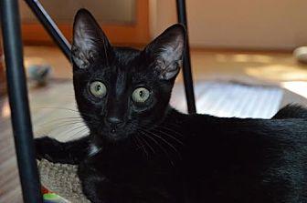 Domestic Shorthair Cat for adoption in Walnut Creek, California - Whitey
