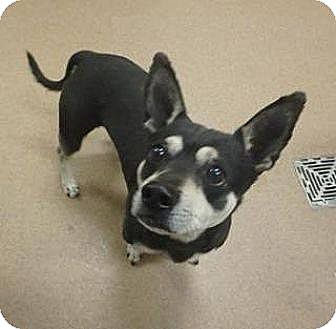 Chihuahua Mix Dog for adoption in Las Vegas, Nevada - Rollo