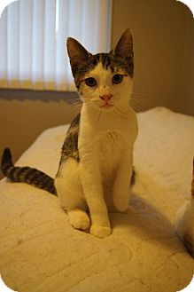 Domestic Shorthair Cat for adoption in St. Catharines, Ontario - Basil