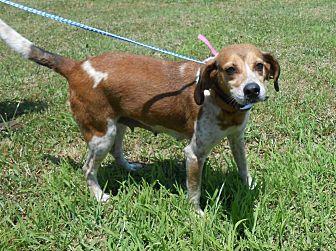 Redtick Coonhound/Hound (Unknown Type) Mix Dog for adoption in Halifax, North Carolina - Priss Pot