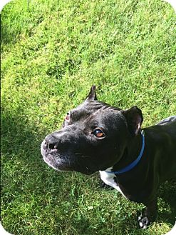 American Staffordshire Terrier Mix Dog for adoption in Long Beach, New York - Apollo