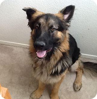 German Shepherd Dog Dog for adoption in Sacramento, California - Salem