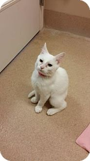 Domestic Mediumhair Kitten for adoption in Cumming, Georgia - Shelly