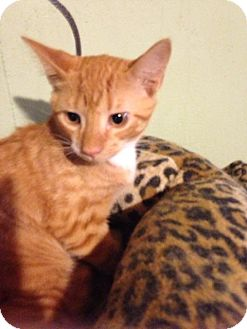 Domestic Shorthair Kitten for adoption in Bridgeton, Missouri - Dream Pop