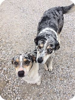 Catahoula Leopard Dog/Siberian Husky Mix Dog for adoption in south plainfield, New Jersey - Mariah and Fergie