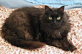Maine Coon Cat for adoption in Santa Paula, California - Sheba