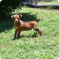 Adopt A Pet :: Ladd - South Dennis, MA